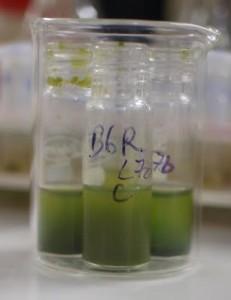 Algae biomass