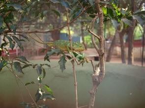 Söt kameleont på Snake Park